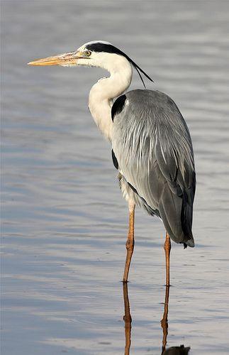 Ardea cinerea (Grey Heron)