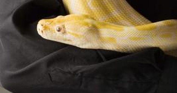 ¿Cómo identificar una serpiente?. Existen cerca de 3.000 especies de serpientes en todo el planeta. Cada especie individual puede ser identificada a través de diversas características físicas. No todas las serpientes son venenosas y muchas de ellas no representan una amenaza para los humanos. Sin embargo, si por casualidad te encuentras con una serpiente, lo mejor es alejarte de ...