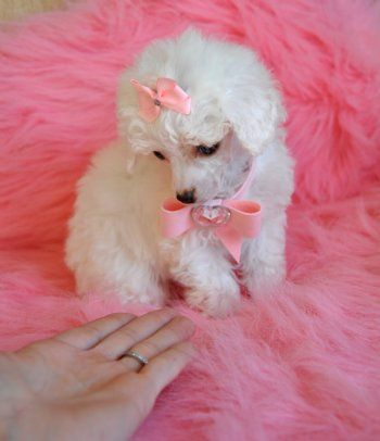 12 Pictures of Teacup Poodles. They are 9 inches or smaller and weigh 6 pounds or less.