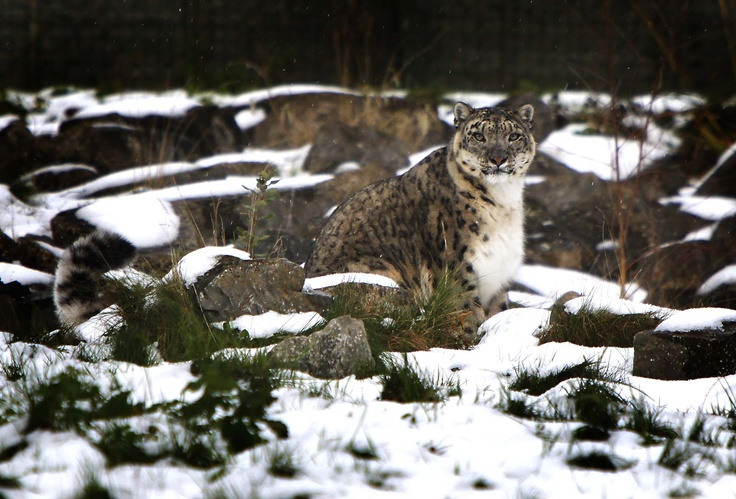 Snow leopard at #Dublin #Zoo