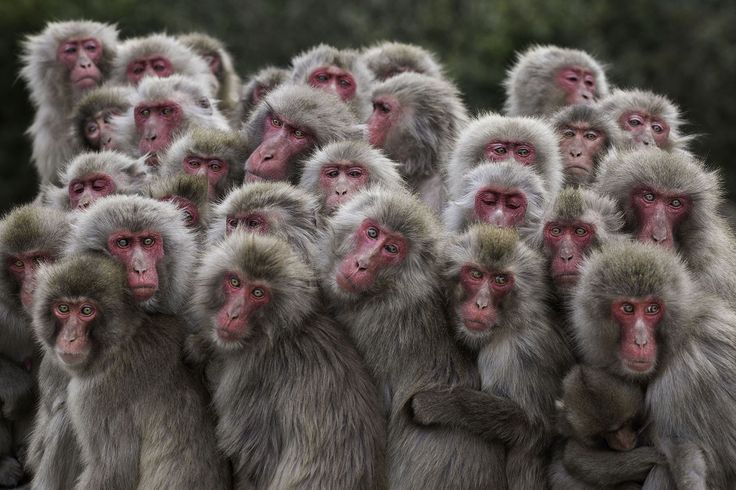 """<b><i>The More the Merrier</i></b>, Terrestrial Wildlife Finalist. When temperatures drop, macaques often huddle together to pool their body heat, forming what's known as a saru dango, or """"monkey dumpling."""" This behavior is common among the 23 species of macaques, all of which form complex matriarchal societies. It is especially important for Japanese macaques (Macaca fuscata), which live in colder climates than any other primate aside from humans. On frigid days, their need for warmth…"""