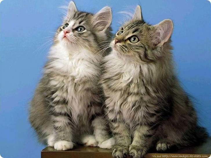 deux chatons angoras duveteux