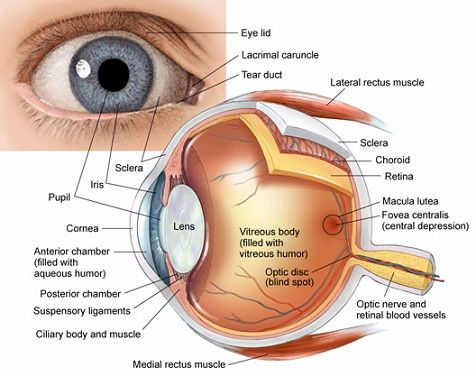 Best 25 diagram of the eye ideas on pinterest everyday eye anatomy canthus inner and outer where eyelids meet pinguecula growth of the conjunctiva that overlays the sclera ccuart Image collections