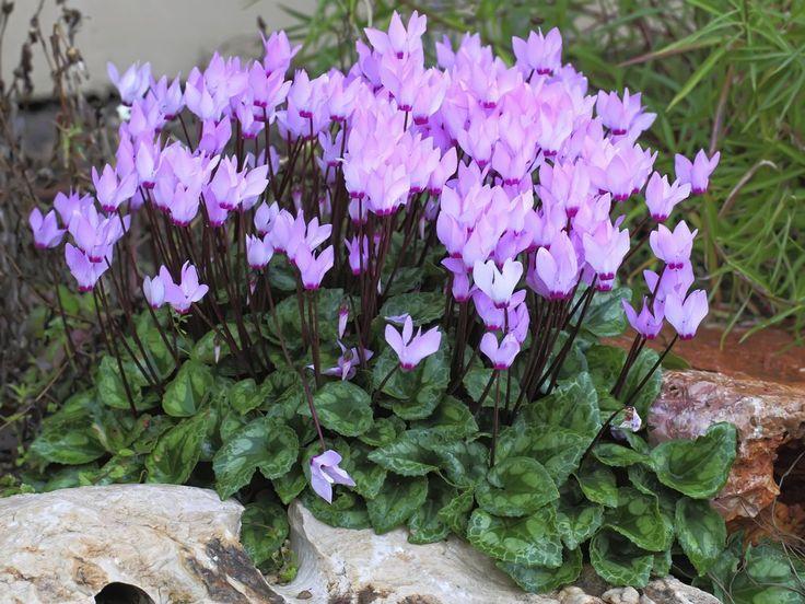 Cyclamen : planter et cultiver – Ooreka