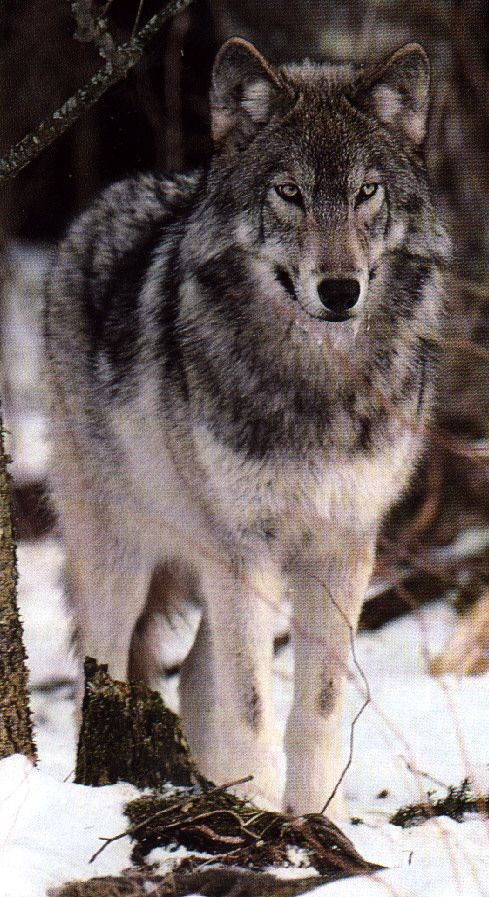 canadian wolves | Canadian Grey Wolf.