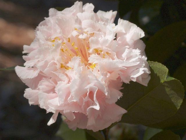 Hawaii Camellia Garden Parasols Planting Flowers