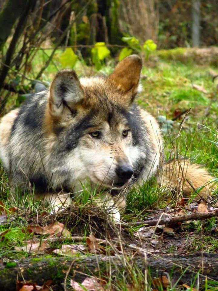 the hunt for the mexican grey wolf For wolves, bath time helps strengthen family bonds when mexican gray wolf f1226 (belle) licks and nibbles her 3-month-old daughter, not only is mom keeping.