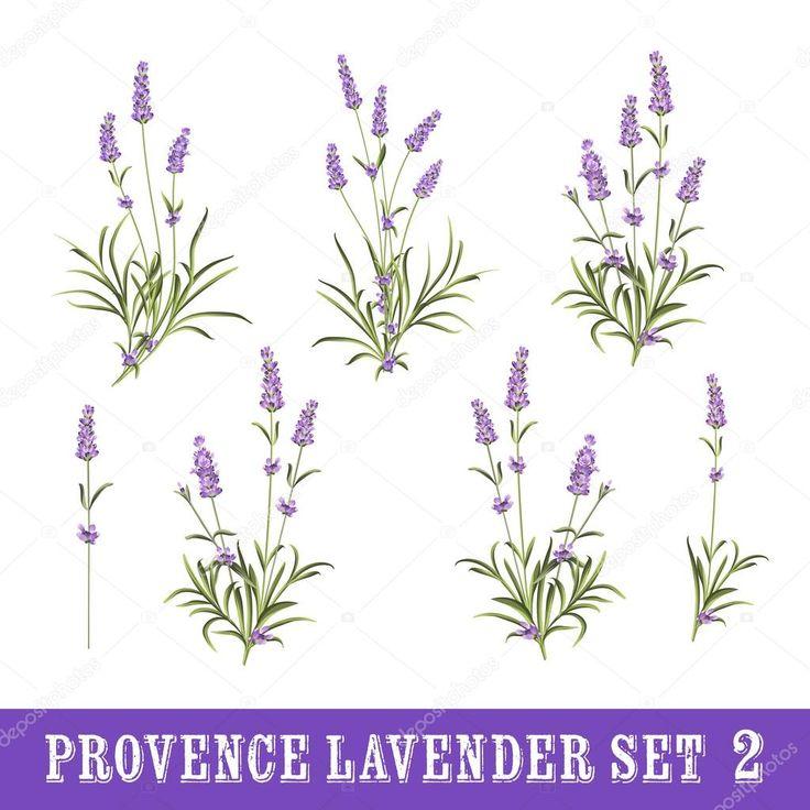 Vintage sada prvků květy levandule. Botanická ilustrace. Kolekce levandulové květy na bílém pozadí. Levandulový ručně kreslenou. Akvarel, Levandulová sada