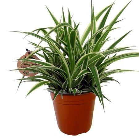 chlorophytum comosum ocean plantes vertes plantes et plantes araign es. Black Bedroom Furniture Sets. Home Design Ideas