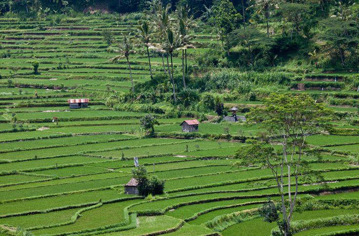 Bali - rýžová pole