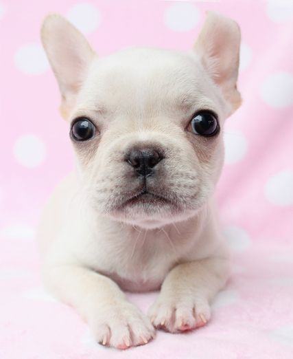 Beautiful French Bulldog Puppies in South Florida
