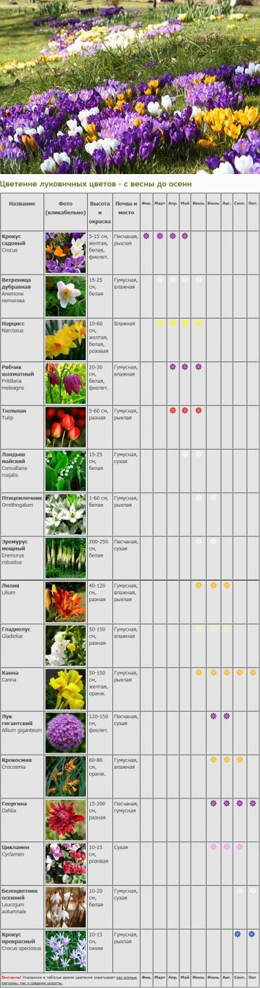 Календарь цветения луковичных и клубневых растений. | Сад и огород | Постила