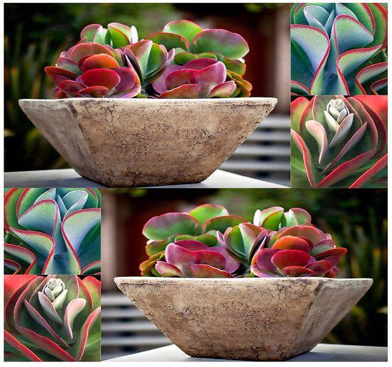 Kalanchoe Thyrsiflora exóticos y raro Xeriscaping suculentas mesembs - aka planta Paddle, panqueques, desierto col, dama de blanco, Plakkie