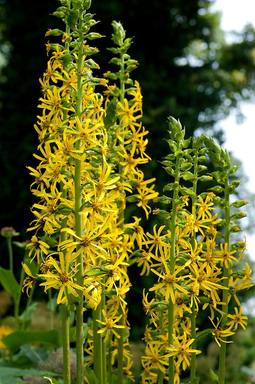 Ligularia. Tidy plants during November. Cut back to near ground level during March.