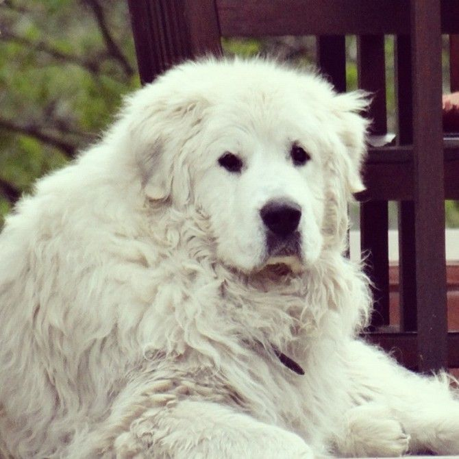 Oliver :) Great Pyrenees Breed- So gentle with kiddies
