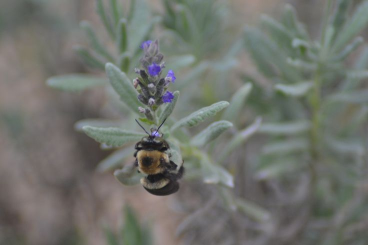 Bumble Bee on Lavender. Photographed by SC.