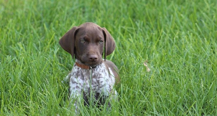 6 first year steps for training a hunting dog.