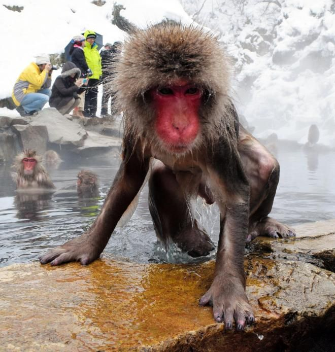 温泉からあがるサル。近くの雪の上で10分ほど過ごし、湯に入り直していた=2014年12月29日、長野県山ノ内町の地獄谷野猿公苑/毛先凍っても風邪ひかず   長野県の志賀高原に生息する野生のサルは、最低気温がマイナス10度以下になる中、温泉に入ります。「地獄谷野猿公苑(こうえん)」の職員、宮田佳代さんによると、「湯上がり後に毛先が凍ることがあっても、体調を崩す様子はない」そうです。