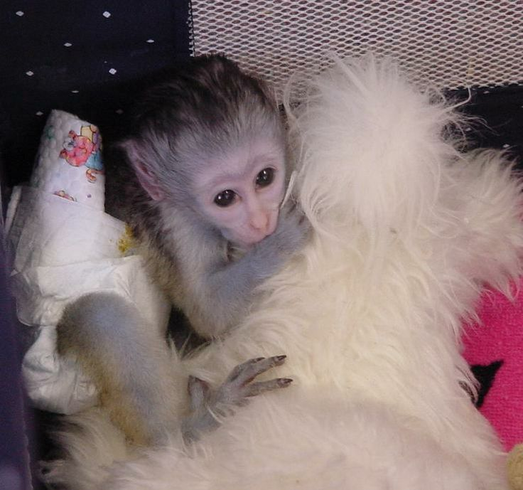 Buy a capuchin monkey online dating 9