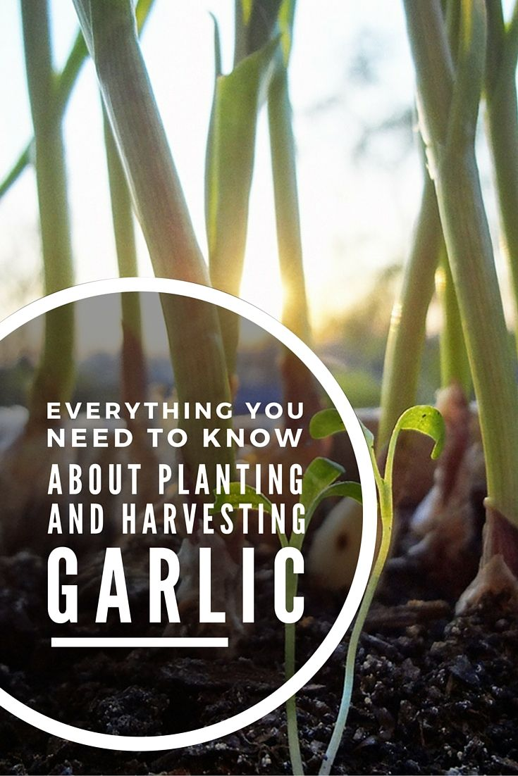 antibacterial properties of garlic and mint Garlic and mint core practical – investigating the antibacterial properties of plants introduction plants are susceptible to infections by bacteria and fungi.