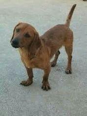 Basschshund    Basset hound +Dachsound  (bassotto tedesco)