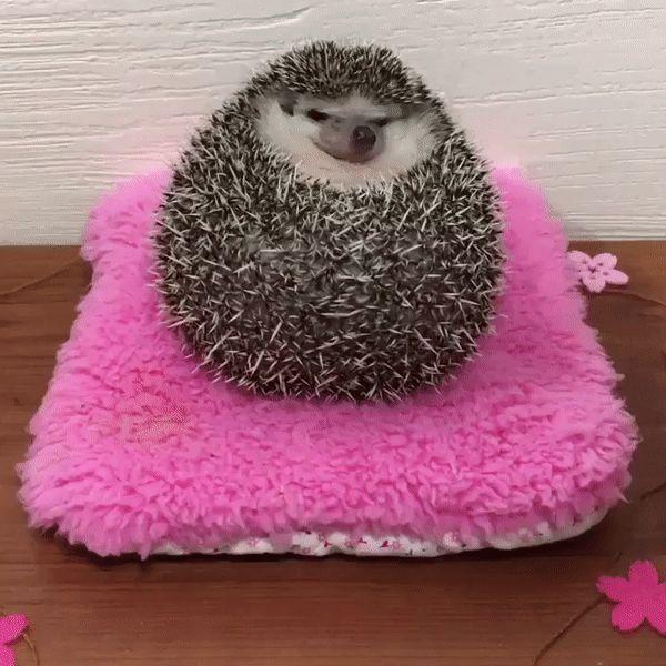 Grumpy Hedgehog Becomes Happy