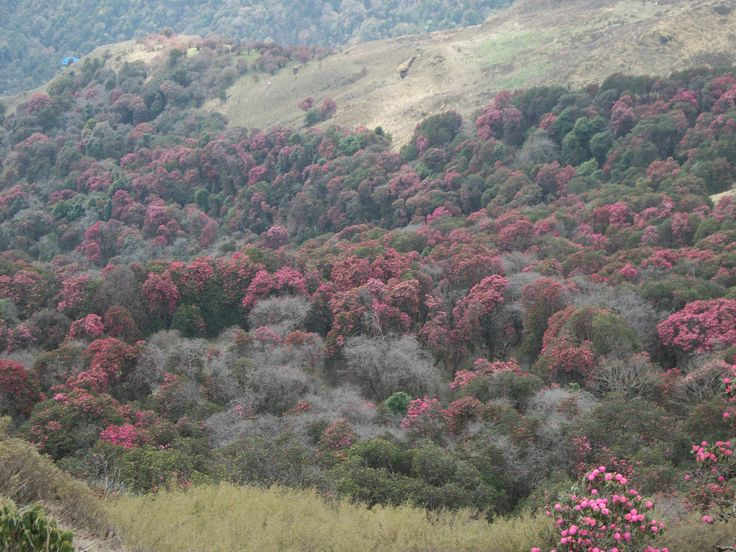 Rhododendrons. Nepal