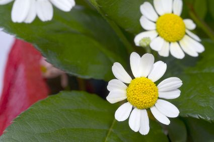 Chamomile For High Blood Pressure |