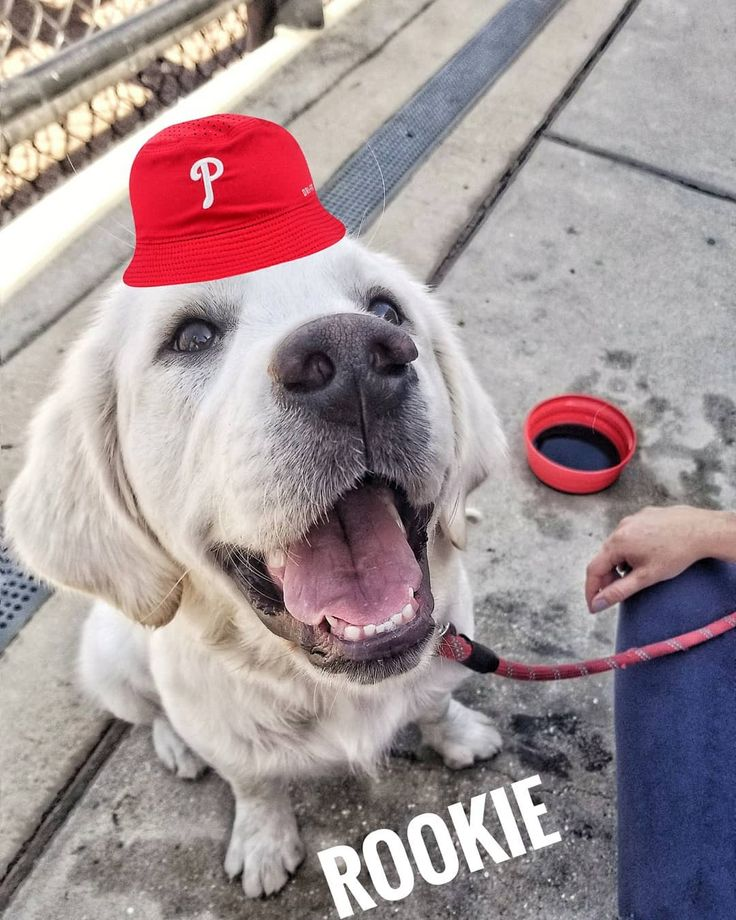 The Dog Days of Spring Training  #rookiehoskins @thelifeofrookie @rhystothehoskins  #phillies #springtraining #clearwaterfl @phillies #philliephanatic #englishgolden #yoga #pizza #dogsofinstagram #dogsofspringtraining