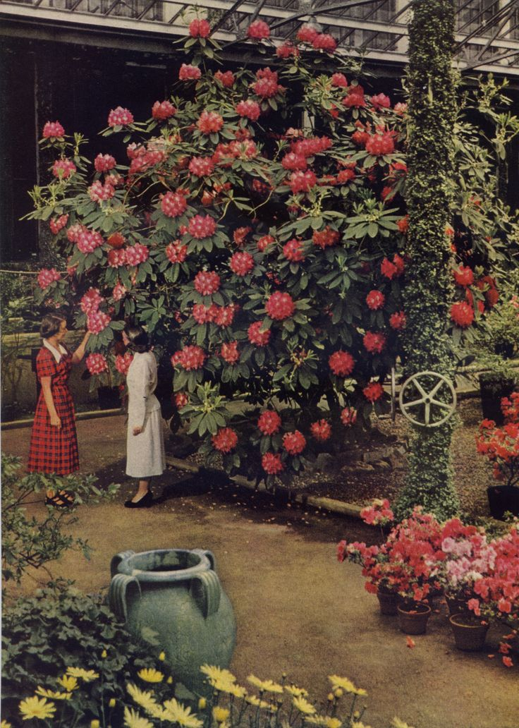 "Kodachrome by B. Anthony Stewart. From ""Wonderland in Longwood Gardens,"" National Geographic, July, 1951. ""In April the Rhododendron Bears a Treeful of Blazing Color Ficus pumila, one of the figs, covers the pillar. Hybrid azaleas crown pots on the..."