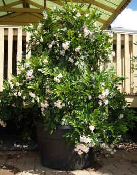 Radermachera Summerscent - planting to replace camelias