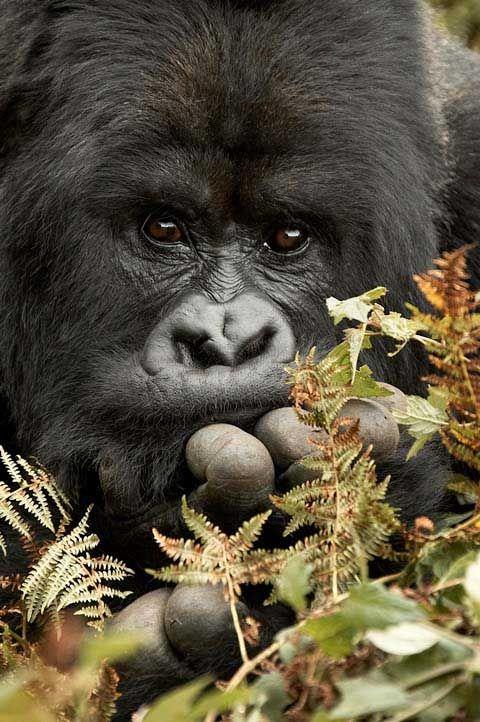 Mountain gorilla.  <3<3<3 this shot.