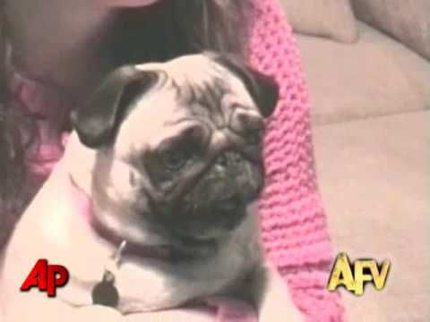 I don't care what mood you're in, this will always make it better :) This dog pictured, at 2 minutes, watching AFV is hilarious! They all are though!!