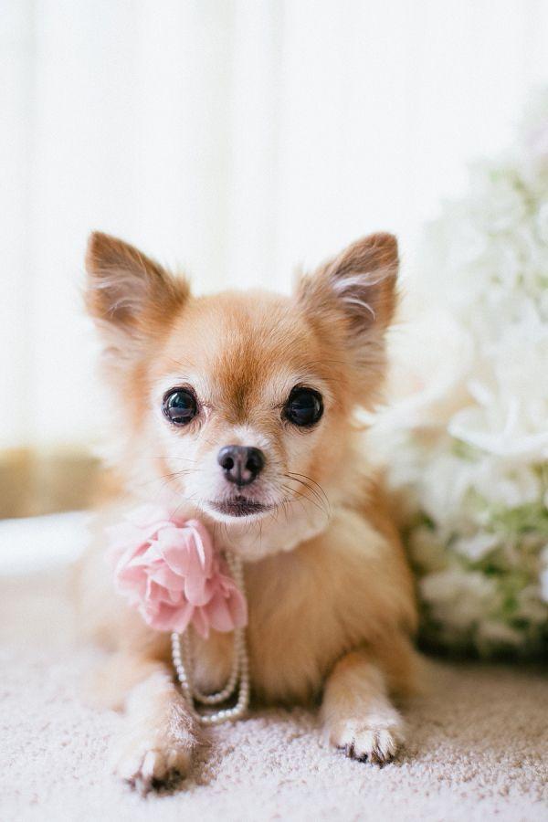 Best Dog Jemma Dog Tags Dog Photography Cute Chihuahua