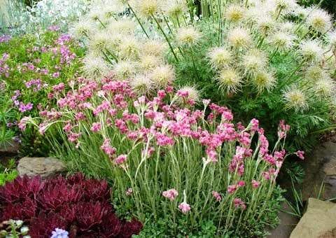 кошачья лапка находка для «сухого» цветника, растущего на бедной высушенной почве, где можно решиться на выращивание мало какого растения. Серебристо-зеленые листья кошачьей лапки прекрасно смотрятся в компании летних луковичных культур, а также в миксбордерной композиции, особенно с использованием злаковых, суккулентов (молодило, доротеантус), а также с живучкой, портулаком, тысячелистником, лавандой.