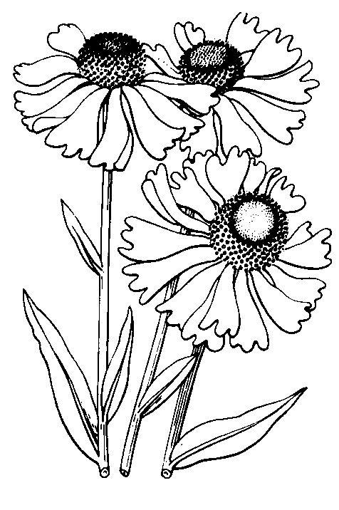 Line Drawing Coneflower : Dibujo para repujado pinterest