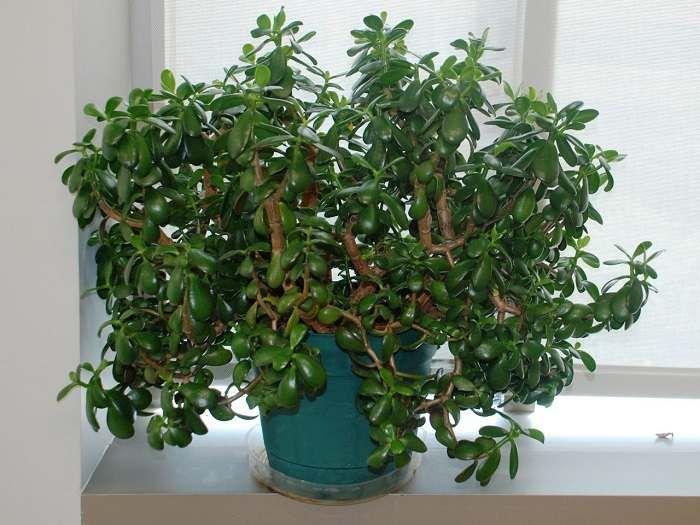 Určitě jste se již alespoň jednou v životě setkali s touto rostlinkou, která se někdy také nazývá strom peněz. Nazvali ji tak lidé, protože její listy jim připomínaly tloušťku kulatých mincí. Obsahují velké množství šťávy, ale o jejích vlastnostech ví jen málokdo. Řekneme vám, jak si z pokojové rost