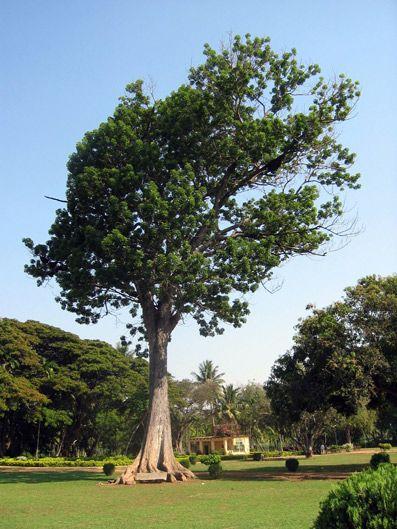 caoba-arbol-nacional-dominicano
