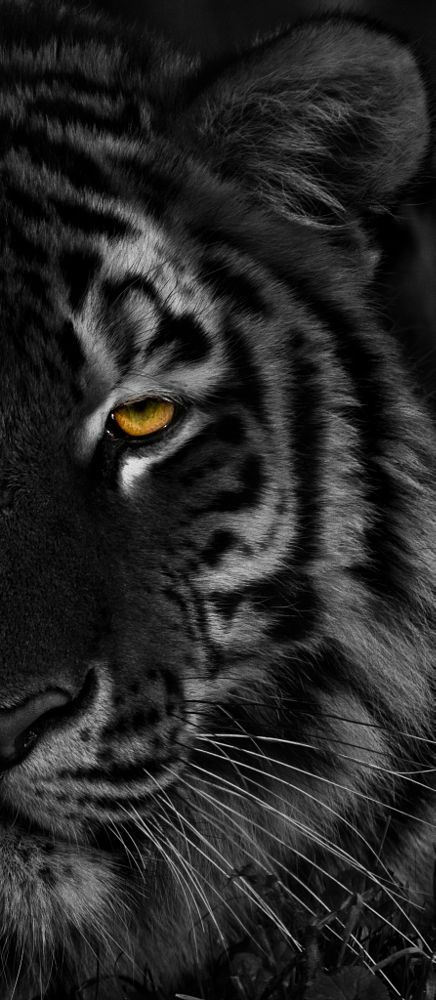 L'oeil du tigre by Briquet jean francois on 500px