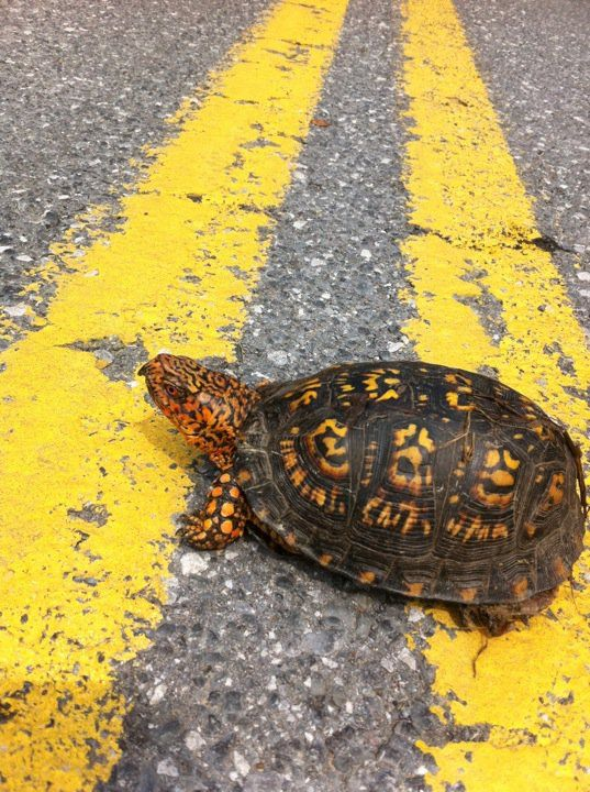 ... you can Nature and Outdoors Pinterest Box Turtles, Turtles and