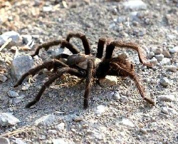 California Spiders