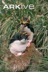 Macaroni penguin pair incubating egg on nest