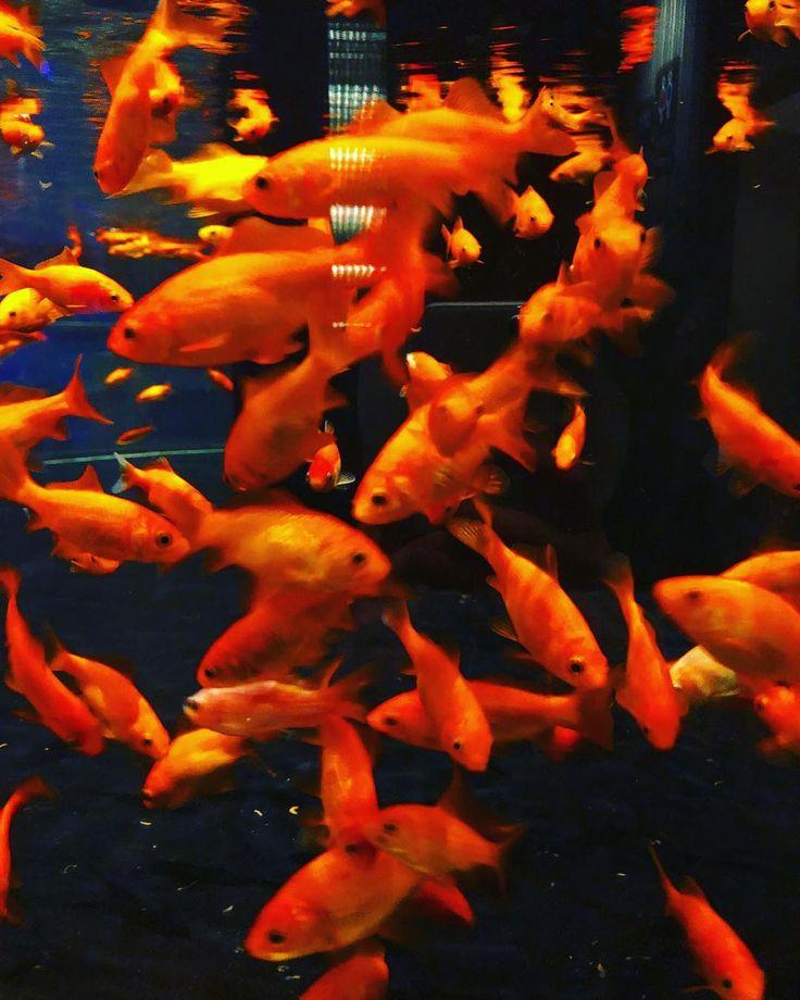 今日すみだ水族館に行きやした 何故か金魚がいっぱいで何故か1番良かった笑 . #金魚 #和金 #すみだ水族館