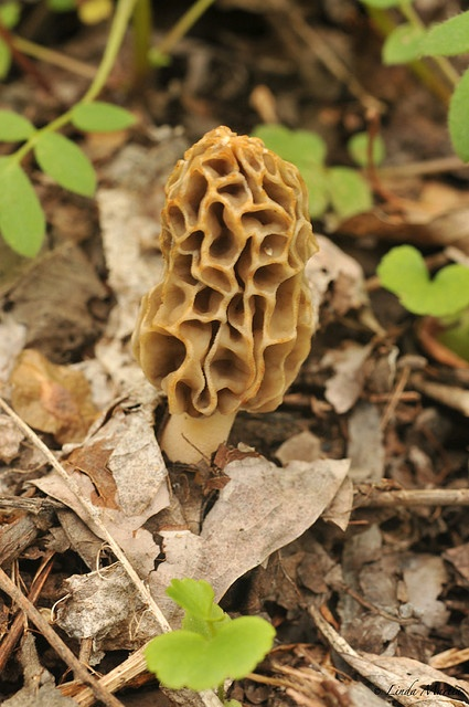 1000+ images about Morels on Pinterest | Seasons, Asparagus and ...