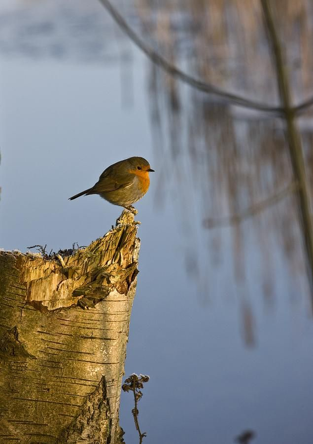 England Robin Perched On Tree Trunk