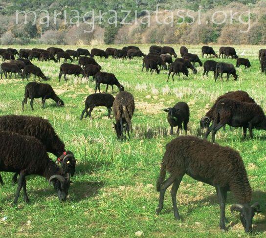 Massa black sheep, authocthonous race, Machiavelli, Biodiversity,  Extinction, Tirli, Maremma, Tuscany, Italy.
