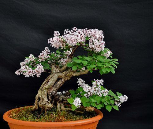 "The Bonsai Blog of Hans Van Meer » Blog Archive » My Lilac ""Syringa microphylla"" pre Bonsai in full bloom!"