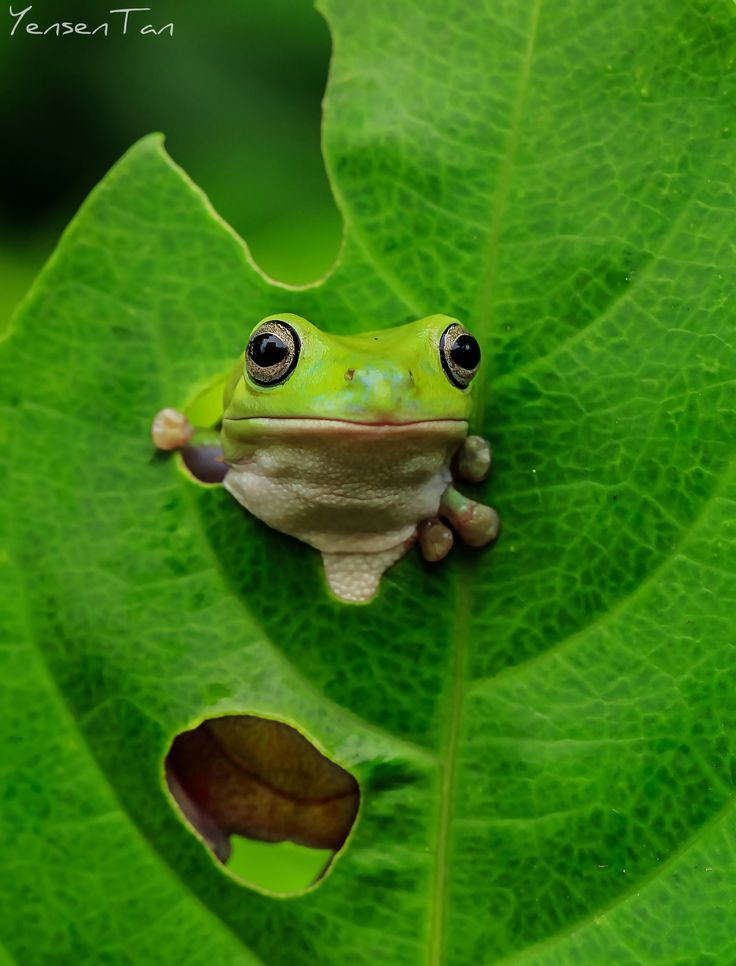 Appear from Leaf - Dumpy white tree frog