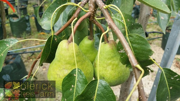 Pear – Packhams Triumph – Purchase Bare Rooted Trees Online