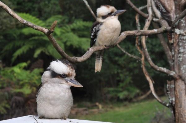 Kookaburras in the Dandenong Ranges